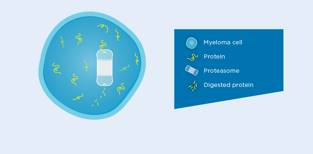 Myeloma cell with protein, proteasome, and digested protein